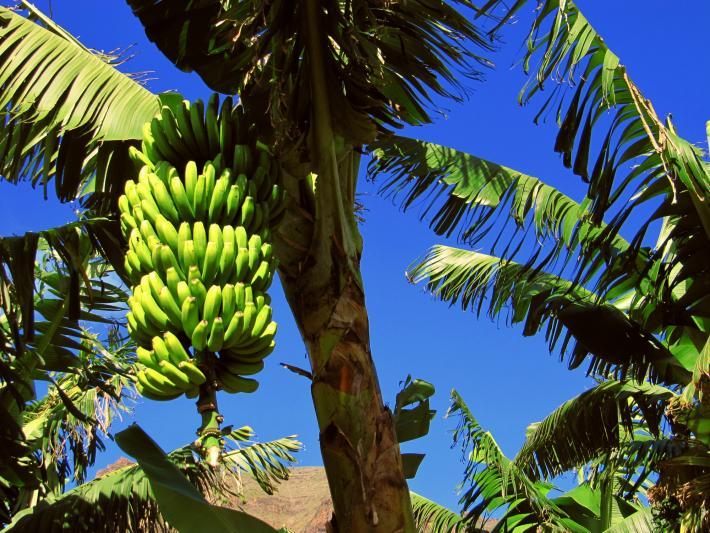 Kanaren_Bananenbäume.jpg