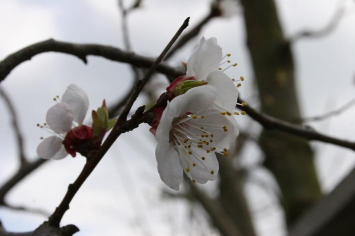 NÖ_Marillenblüte.jpg