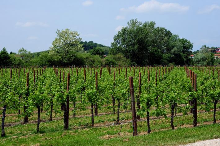 Collio Wein