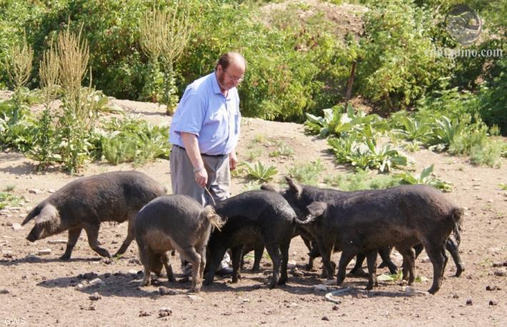 Gerhard Windholz mit Mangalitzaschweinen