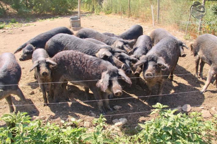 Pannonische Mangalitzaschweine (Windholz)