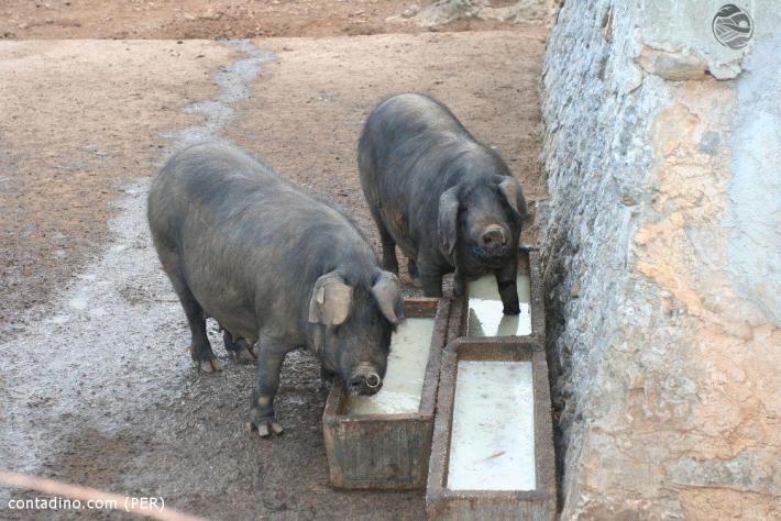Porcella de porc negre mallorquí 1