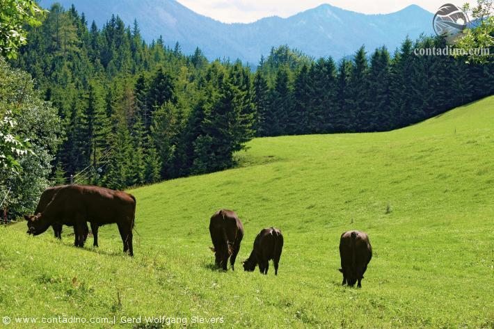 Styriabeef Rinder