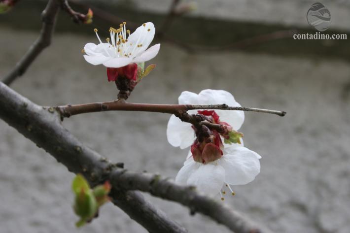 marillenblüte1