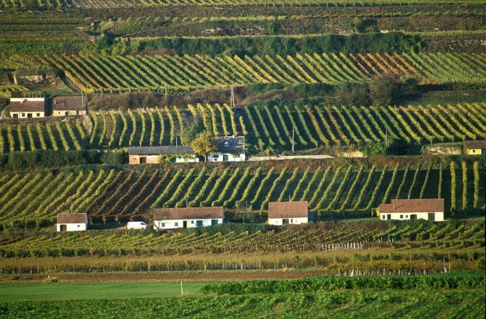 Weingärten Wagram