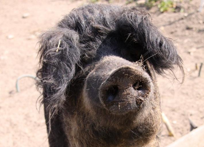 Seewinkel_Mangalitza Schwein (2).JPG