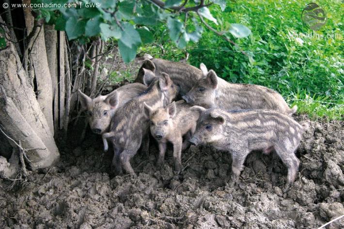 Junge Mangalitzaschweine