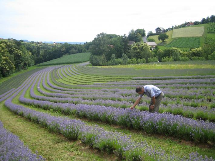 Lavendelfeld Sulmtal Sausal