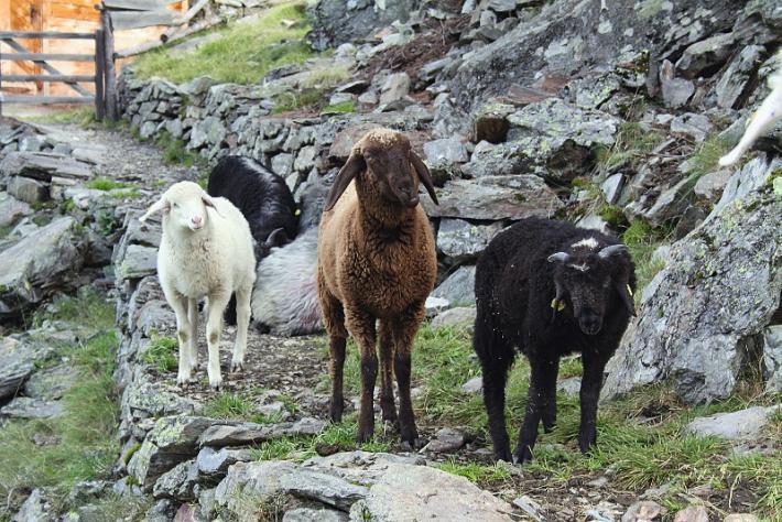 Schafe prägen das Bild von Villgraten