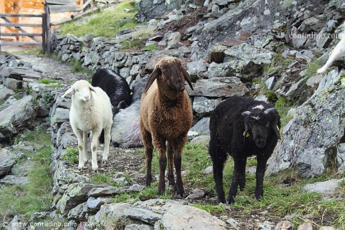 Schafe und Ziegen prägen das Bild von Villgraten