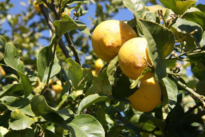 Mallorca_Zitronen.jpg