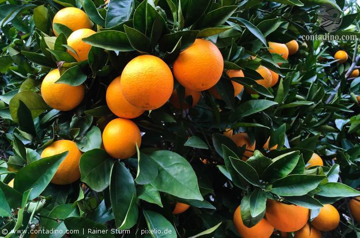 Mallorca_Orangen.jpg