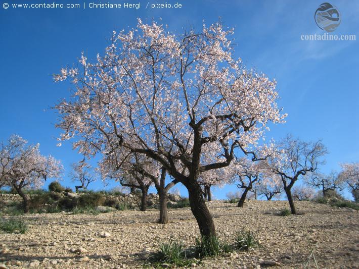 Mandelblüte in Mallorca