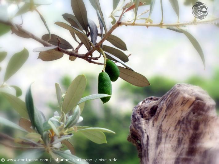 Mallorca_Oliven.jpg