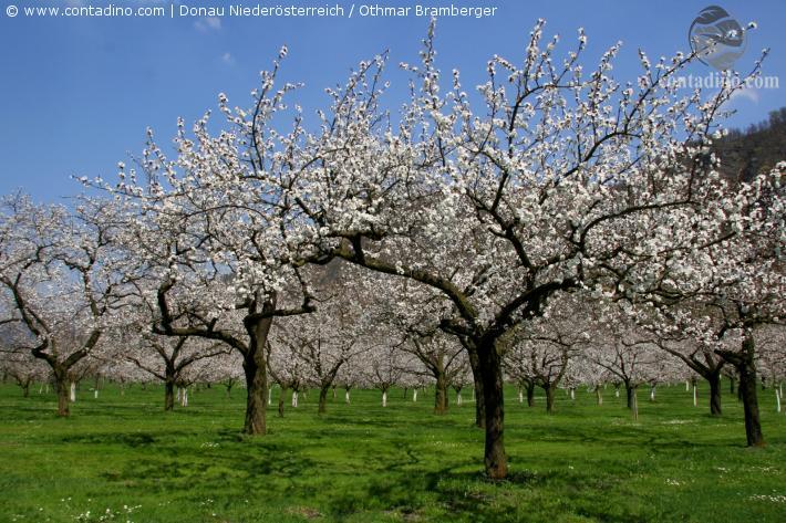 Wachau_Marillenbäume.jpg