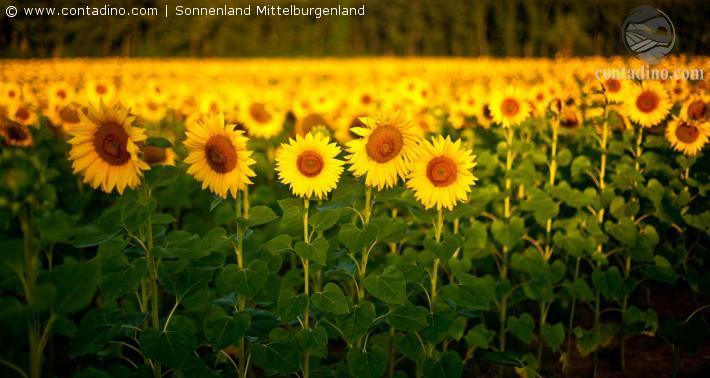Mittelburgenland Sonnenblumen