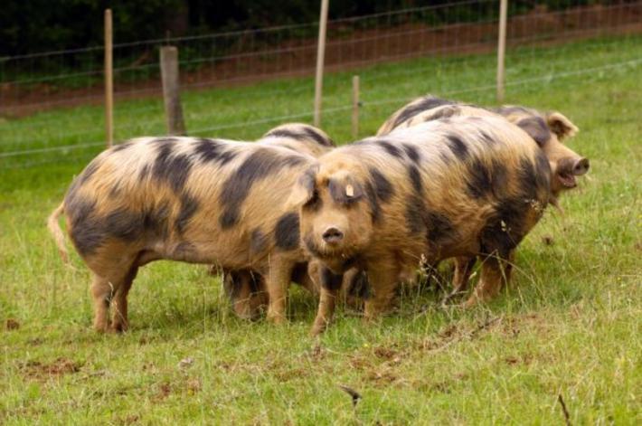 Weststeirisches Turopoljeschwein