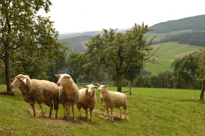 Weizer Schafe