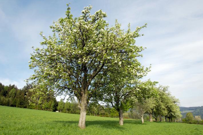 Hirschbirnbaum