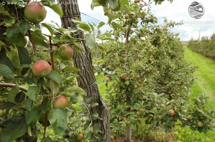 Oststeirischer Apfel
