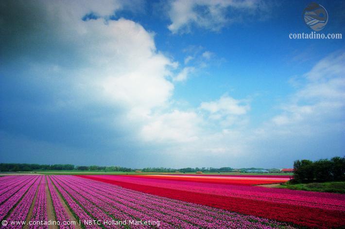 Niederlande_Bloembollenveld - normal_jpg_344 (1).jpg