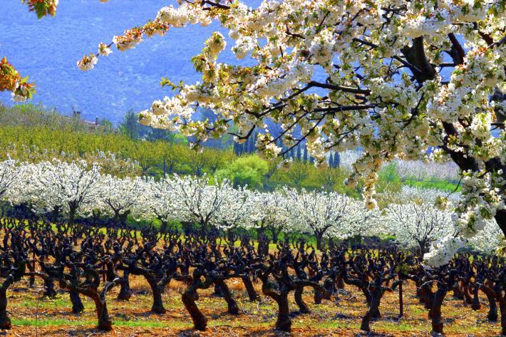 Blühende Obstbäume Provence